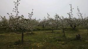 須高りんご